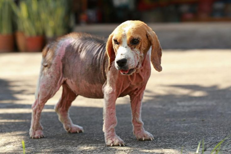Home Remedies For Sarcoptic Mange
