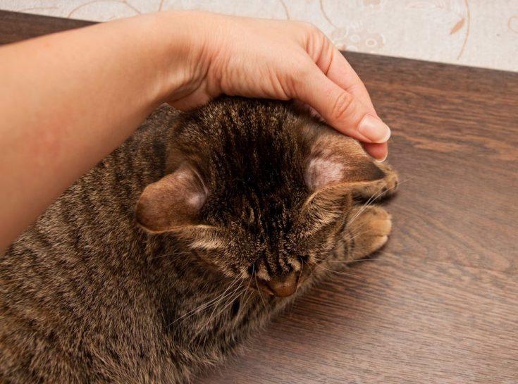 ringworm cat bald spots ears skin