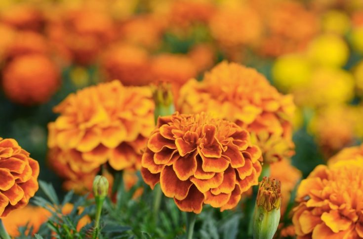 Marigold is a helpful herb treatment